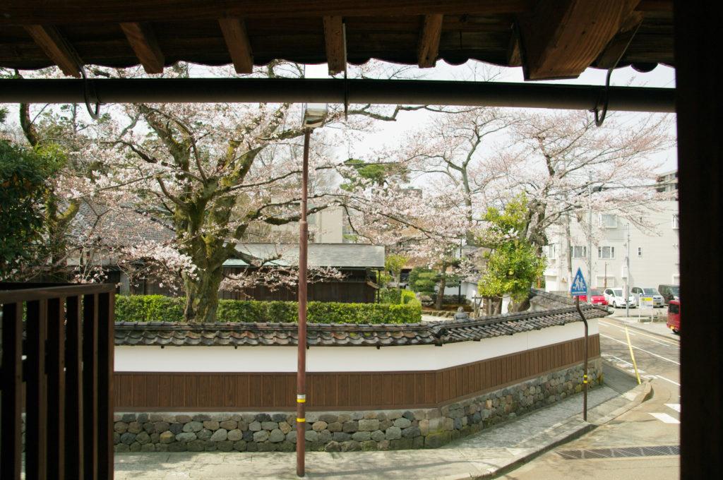 kumosakura